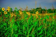 O milho da espiga está crescendo sob um sol do verão Fotos de Stock Royalty Free