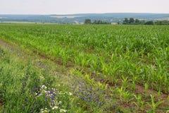 O milho está crescendo em um campo com flores do prado Imagens de Stock