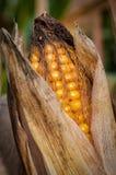 O milho está pronto para a colheita foto de stock