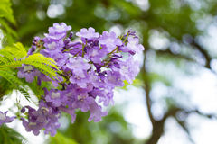 O mimosifolia do Jacaranda é um nativo subtropical bonito da árvore a fotografia de stock