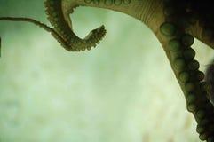 ośmiornica Zdjęcie Royalty Free