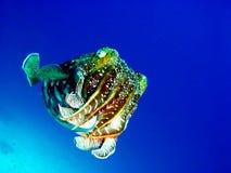 ośmiornica podwodna Fotografia Royalty Free