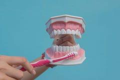 O modelo dental é usado para ensinar como escovar corretamente os dentes por doutores foto de stock