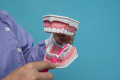O modelo dental é usado para ensinar como escovar corretamente os dentes por doutores fotografia de stock royalty free
