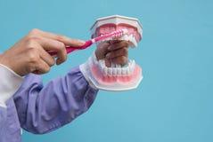 O modelo dental é usado para ensinar como escovar corretamente os dentes por doutores imagens de stock