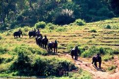 O modo de vida de povos com o elefante na vida junto como uma família por muito tempo Acampamento em Mae Rim, Ch do elefante de M Imagens de Stock Royalty Free