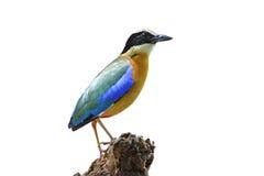 O moluccensis voado azul de Pitta Pitta isolou o fundo branco foto de stock royalty free