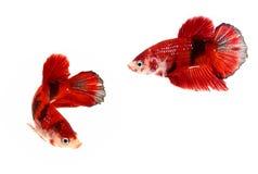 O momento de peixes de combate siamese, splendens do betta pesca Imagem de Stock