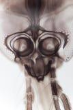 O mosquito ampliou Imagens de Stock