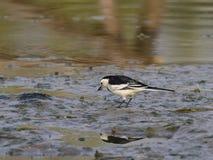 O Motacilla alba está na borda do lago foto de stock