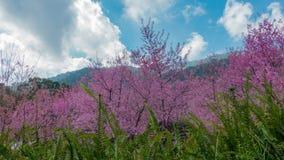 O movimento do lapso de tempo nubla-se com a flor da cereja Himalaia selvagem filme