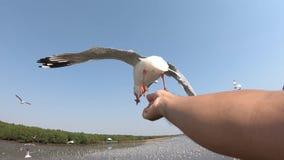 O movimento do pairo do voo da gaivota ao petisco de minha mão video estoque
