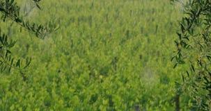 O movimento lento de uma chuva que passa no campo entre o vinhedo coloca 4k vídeos de arquivo
