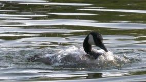 O movimento lento do pato bonito está espalhando suas asas para voar filme