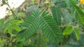 O mui de Chhui sae de uma planta sensível dos mundos melhor Imagem de Stock Royalty Free