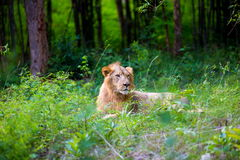 O muito raro e espécie em vias de extinção de leão asiático fotos de stock