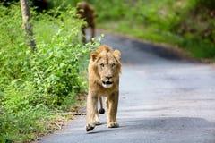 O muito raro e espécie em vias de extinção de leão asiático foto de stock royalty free