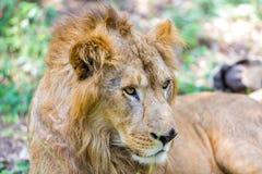 O muito raro e espécie em vias de extinção de leão asiático imagem de stock royalty free