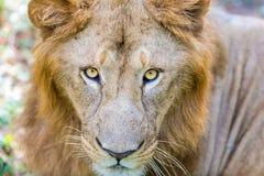 O muito raro e espécie em vias de extinção de leão asiático imagens de stock royalty free