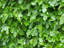 O Mulberry sae da árvore Imagens de Stock Royalty Free