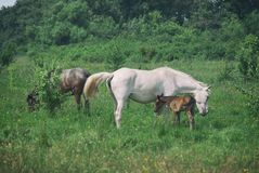 O mum do cavalo branco com potro e o pai preto do cavalo pastam no vale montanhoso do verão verde fotografia de stock royalty free