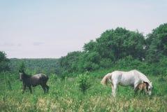 O mum do cavalo branco com potro e o pai preto do cavalo pastam no vale montanhoso do verão verde fotos de stock