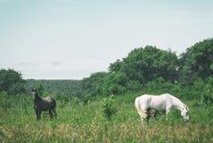 O mum do cavalo branco com potro e o pai preto do cavalo pastam no vale montanhoso do verão verde fotografia de stock