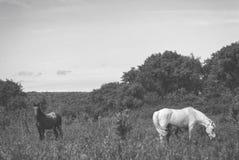 O mum do cavalo branco com potro e o pai preto do cavalo pastam no vale montanhoso do verão verde foto de stock royalty free