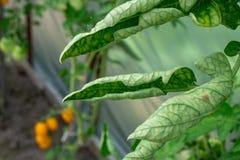 O mundo do amante do jardineiro Variedades de doenças do tomate foto de stock