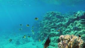 O mundo subaquático com muitos peixes exóticos, corais e sol bonito irradia Peixes da borboleta do Mar Vermelho filme