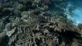 O mundo subaquático do Mar Vermelho Egypt video estoque