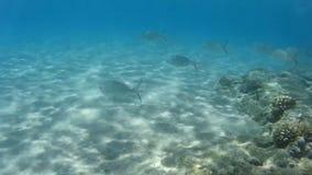 O mundo subaquático do Mar Vermelho Egypt filme