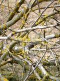 Musgo em ramos de árvore inoperantes Imagem de Stock Royalty Free