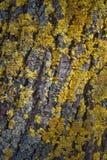 O musgo amarelo na casca de uma árvore no outono Foto de Stock