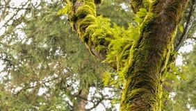 O musgo cobriu árvores com brotar verde fresco das samambaias Foto de Stock