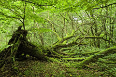 O musgo cobriu árvores na floresta imagem de stock