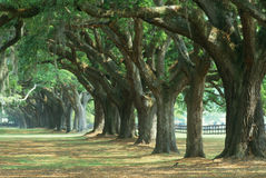 O musgo cobriu as árvores que alinham a estrada Imagens de Stock Royalty Free