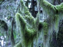 Moss Covered Branch Fotografia de Stock