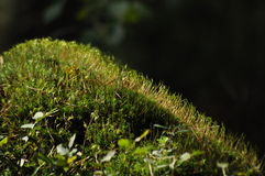 O musgo cobriu plântulas do membro de árvore e plantas novas Raios do alcance da luz Foto de Stock Royalty Free