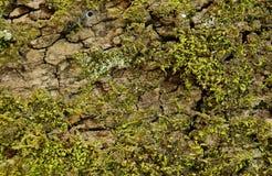 O musgo cresce na árvore e cria a textura Fotos de Stock Royalty Free