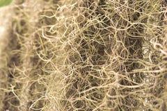 O musgo espanhol ou os usneoides do Tillandsia no jardim são a GR natural Fotos de Stock