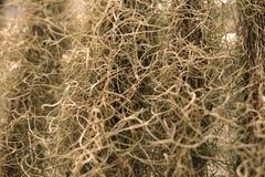 O musgo espanhol ou os usneoides do Tillandsia no jardim são a GR natural Imagem de Stock Royalty Free