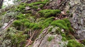 O musgo nas inclinações da floresta Imagem de Stock