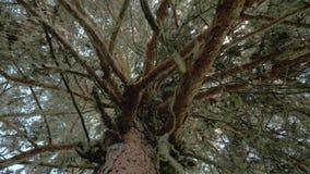 O musgo pendura de um ramo de árvore no understory da floresta, Geórgia video estoque