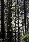 O musgo retroiluminado pendura das árvores imagem de stock royalty free