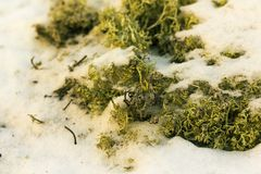 O musgo sob a neve fotografia de stock royalty free