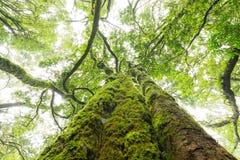 O musgo verde cobriu o tronco de árvore Imagem de Stock Royalty Free