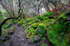 O musgo verde reveste, floresta na reserva natural do Los Tilos, La Palma, C fotos de stock