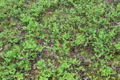O myrtillus do Vaccinium é uma espécie de arbusto com o fruto comestível da cor azul, chamado geralmente uva-do-monte, mirtilo ou Fotografia de Stock Royalty Free