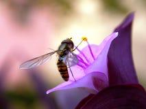 Oś na kwiacie Zdjęcie Royalty Free